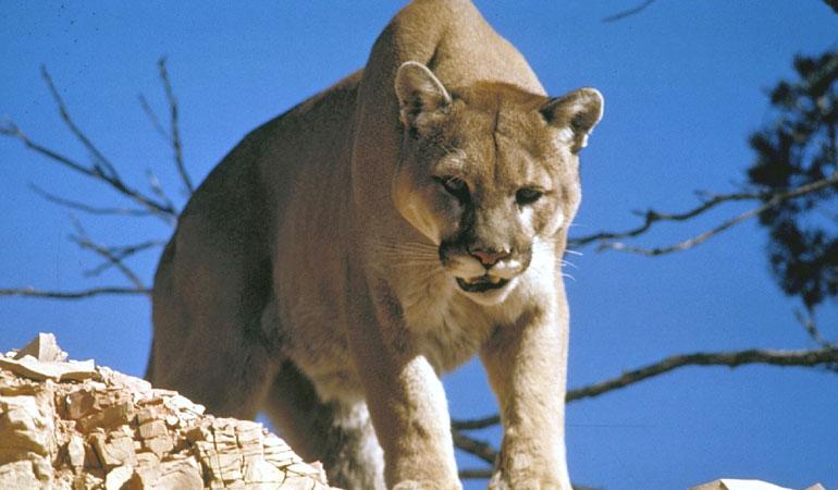 Rocky Mountain Auto >> Mountain Lion Safety